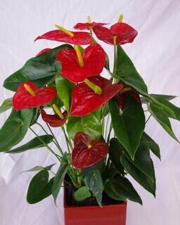 Flamingonkukka -Anthurium