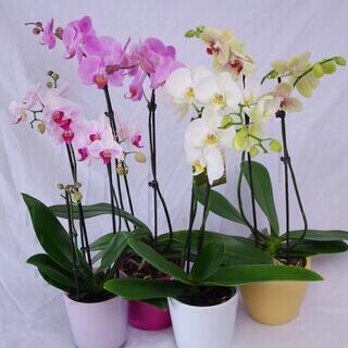 Phalaenopsis-orkidea